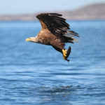 Sea Eagles to Summit Ouzels: Ireland's Ancient Wildlife